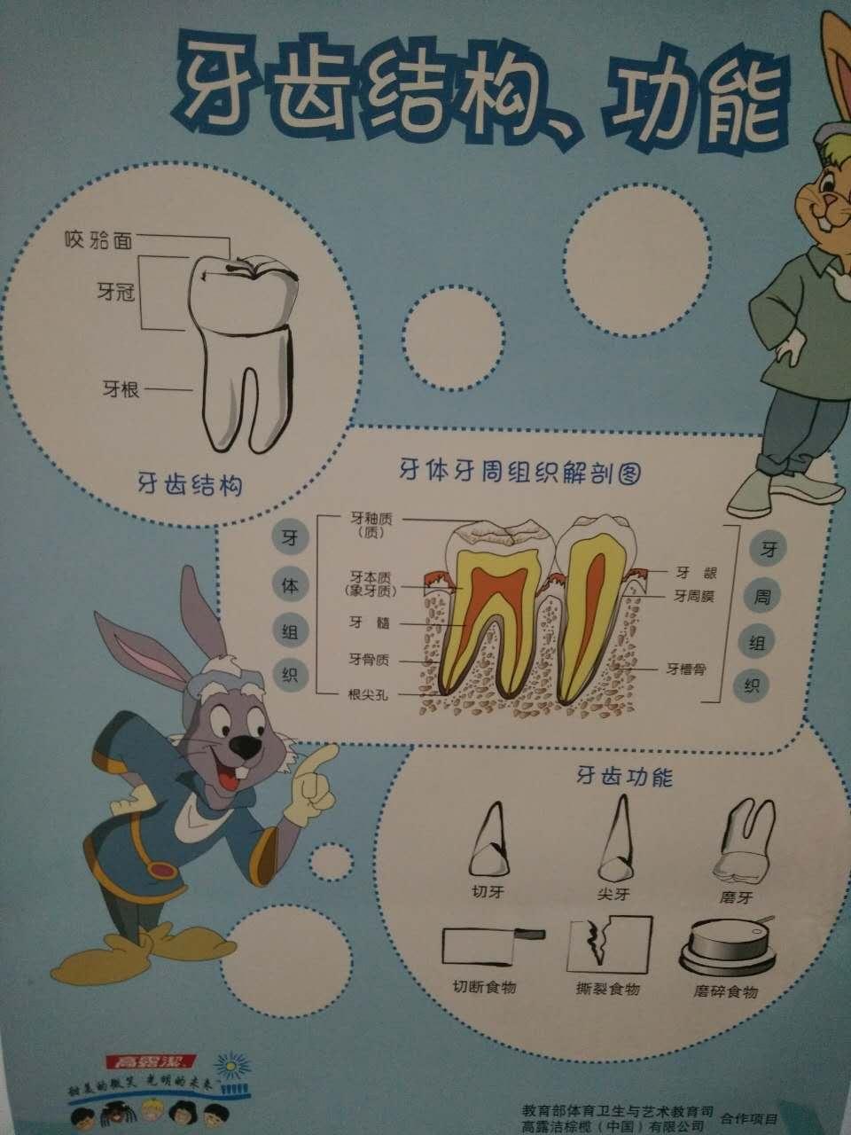 牙齿的结构和功能