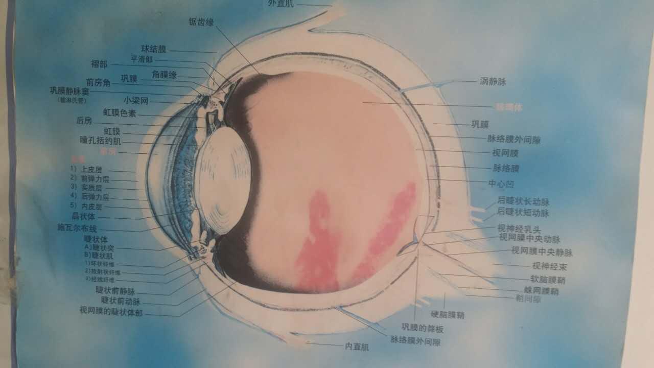 眼部解剖图