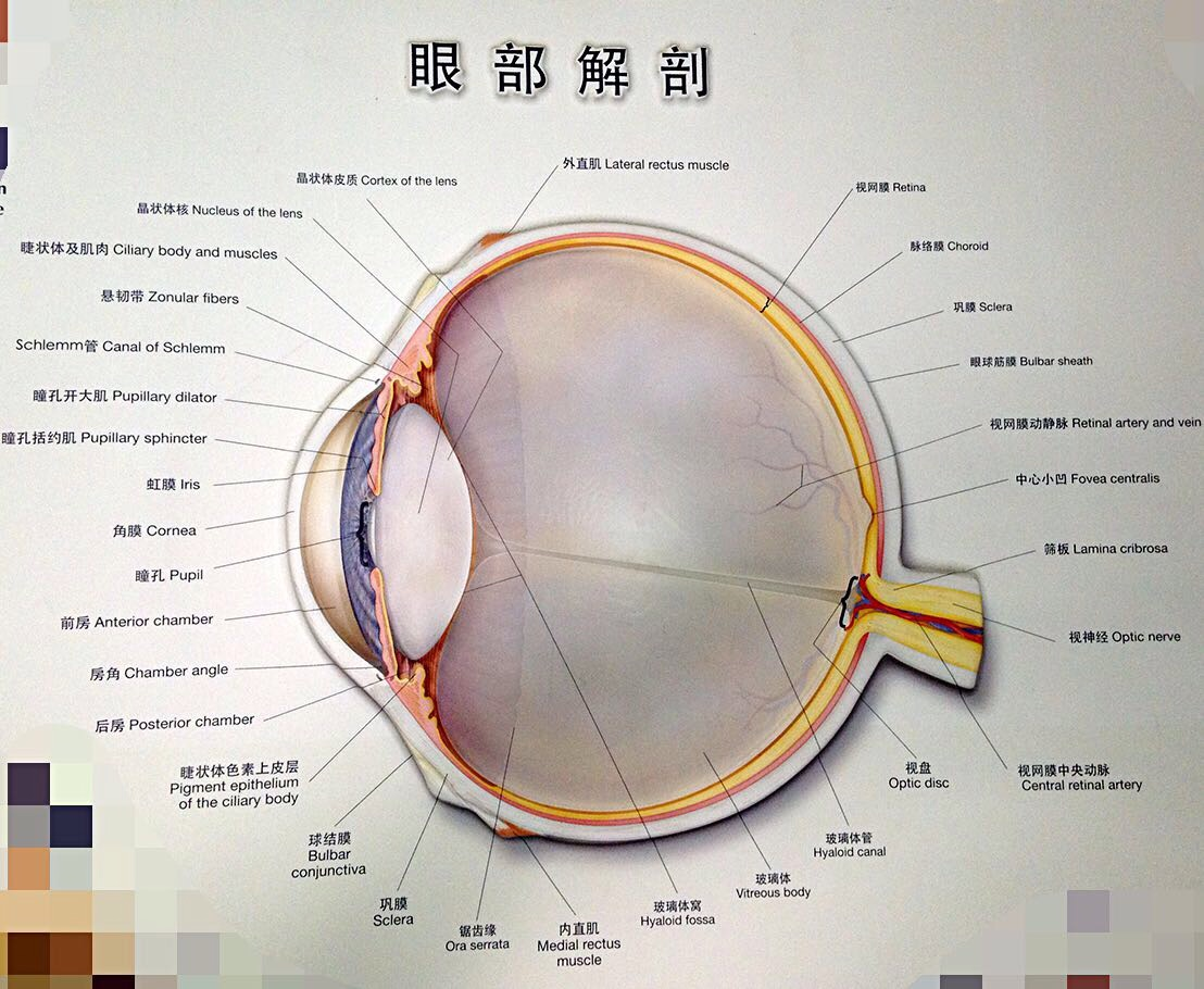正常眼部解剖