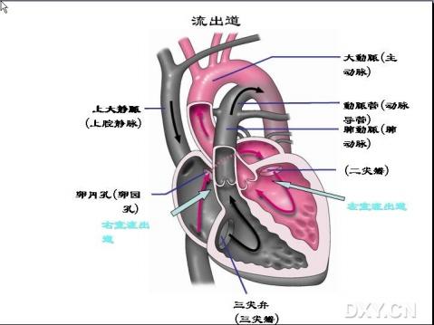 探查胎儿心脏时,首先应根据胎头和脊柱的位置判断