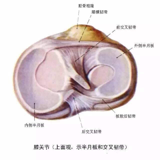 膝关节解剖图,带文字标注